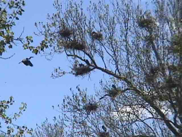 Great Blue Heron Nests Summit County Ohio Pictures Movie